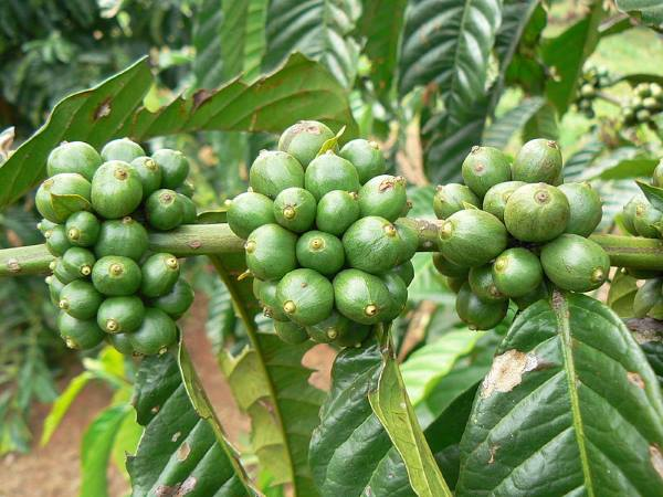 green cofee bean tree