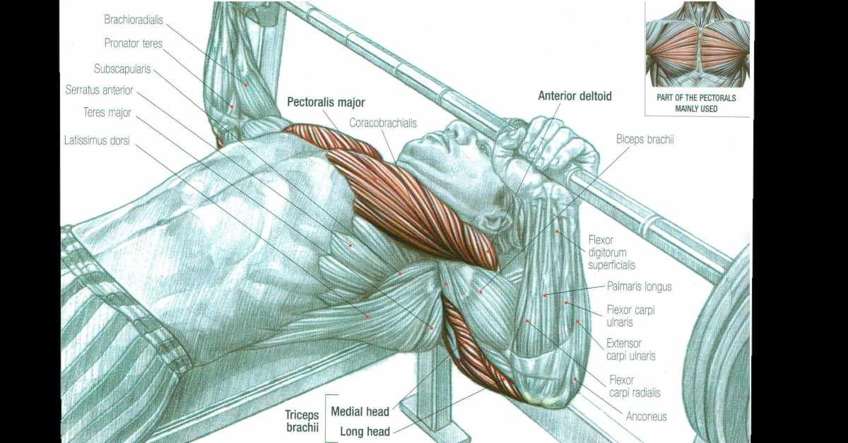 The Complete Guide For A Mive Chest Build Muscle Workout Routines