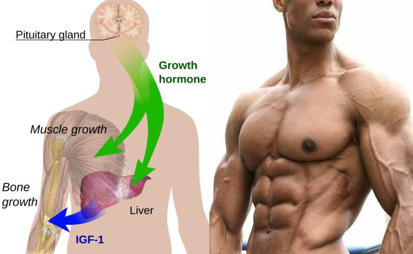 everything you need to know about the human growth hormone, Muscles