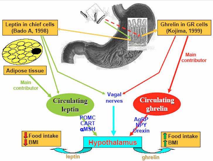leptin-ghrelin