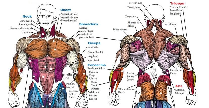 7-anatomy-facts-every-bodybuilder-should-know