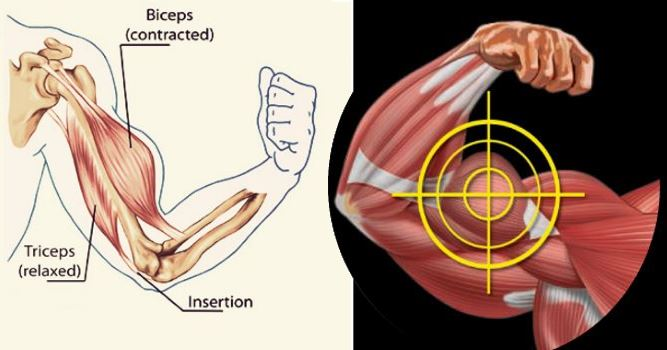 the-two-most-powerful-biceps-workouts