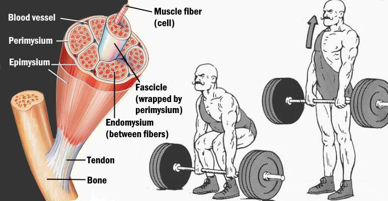 deadlift-every-day-for-muscle-growth
