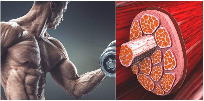 Everything You Need to Know About Muscle Hypertrophy
