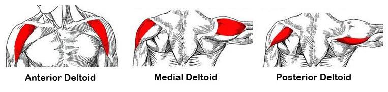 deltoids-anatomy