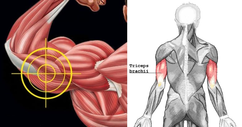 triceps-long-head-growth