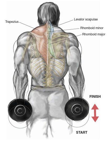 dumbbell-shrug-anatomy